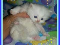 New litters of Persian Kittens born July 9th, 17th, and
