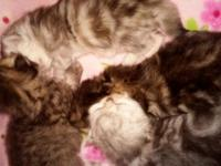 We have a sweet litter of golden and silver Persian