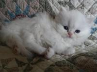 : I have 3 sweet Persian babies born August 23th.. I am