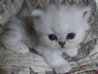 : I have 3 sweet Persian babies born August 28th.. I am