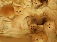 Pure Persian kittens available Nov 13th. Two silver