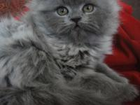 9 wks old Persian grey male, born 3-25-15. Ready to go