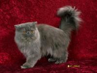 Beautiful and loving blue male persian cat, 5 yrs. old,
