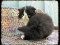 CFA Persian male kitten readily available to pet or