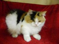 Persian - Misty - Small - Adult - Female - Cat