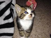 Persian mix kittens $55. One gray/orange female and one