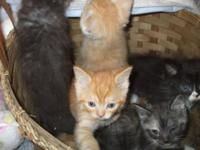 We have six sweet persian mix babies Four boys, Two