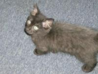 Beautiful black/smoke Persian mix kitten born