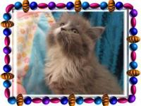 We have three sweet Persian mix babies all have semi