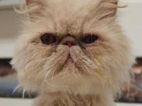 Persian - Percy - Small - Adult - Male - Cat M10-140