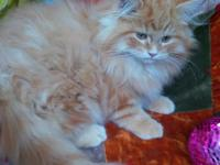 Animal Type: Cats Breed: Persian He is 3 1/2 months