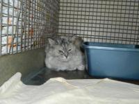 Persian - Samantha - Large - Senior - Female - Cat