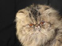 Beautiful Persian spayed female retired from showing.
