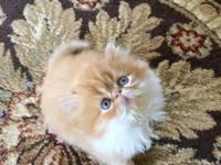 Adorable show quality male kitten .Born 04.16.2015.PKD