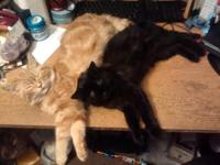 Beautiful orange and black cats-boys for sale. They are