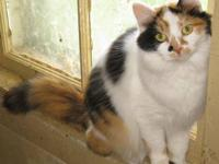 Persian - Sicily - Medium - Adult - Female - Cat Sicily