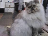 I have a gorgeous Silver Classic Tabby Persian male