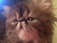 Meet 'Felicity' Female Persian Kitten. Born June 4th.