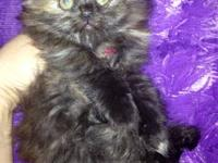 Here is a gorgeous female Tortie Persian kitten. She is