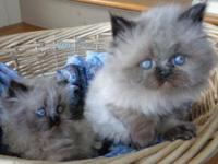 2 Male Himalayan/Persian kittens born March 2. This is