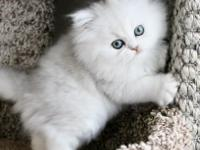 We have male and male Persian kittens  ready and