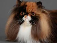 Exotic Persians Kittens- I have extremely rare Tri