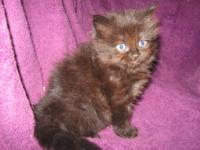 This Persian mixed female kitten was born on September