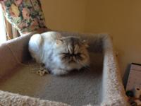 PERSIANS 3 FEMALES AND 1 EXOTIC SHORTHAIR MALE $350.00