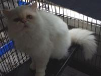 Adult Persian Cats needing a good home.  Male and