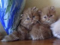 Male & Female Persian Kittens Available Pet, Breeder
