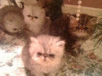 Persians - CFA champion and grand champion lines. Doll