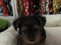 3 Beautiful CKC Yorkshire Terrier female puppies. Born