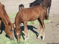 PERUVIAN PASO FILLY  3/4 . 1/4 ARABIAN   CREATED  MARCH
