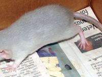 Pet fancy rats for adoption! Rats bred for Health,