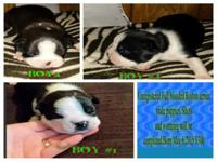 Super cute pure bred Boston Terriers for adoption.Mom
