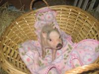 Select your baby pet piglet from an established breeder