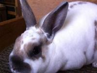 I am a breeder of Show Mini Rex and rarely have pets