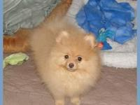 Lovable little Pomeranian kid all set for his