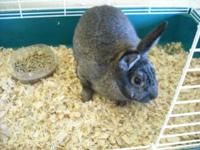 Up for sale is a beautiful pet miniature rabbit. Lola