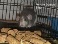 Pictures from current litter. The first dumboed female