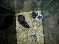 I have both male and female rats looking for homes. The