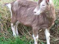 Young WETHER Goat... Born in 2011... weighs 30 - 40