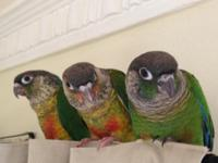 Pet dog Quality Yellow-Sided Green Cheek Conures -