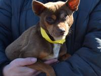 Pete is an adult male Chihuahua who was picked up as a