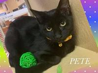 My story PETE - M, DSH, Black, approximately 6 months