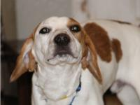 Peter is a 1 year, 26 pound Beagle mix. Peter and his