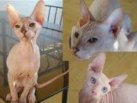 Available PETERBALD Sphynx Kitten(5 month old+): F1 -