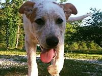 Petey's story Petey is a handsome 4 month old heeler