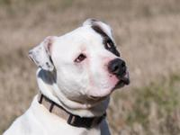 Petey is one super- loving, cutie-pie boxer mix, who