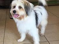 Petey's story Petey is a 1 year Havanese, 20lbs and dog